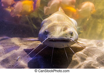 red tail catfish with its face in closeup, big tropical fish from the amazon basin of America