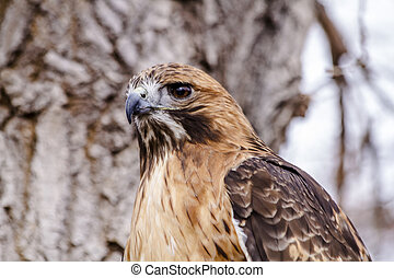 Red Tail Hawk in Winter Setting - Close up of Red Tail Hawk ...