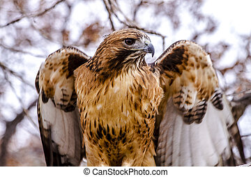 Red Tail Hawk in Winter Setting - Close up of Red Tail Hawk...