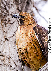 Red Tail Hawk in Winter Setting - Profile of Red Tail Hawk ...