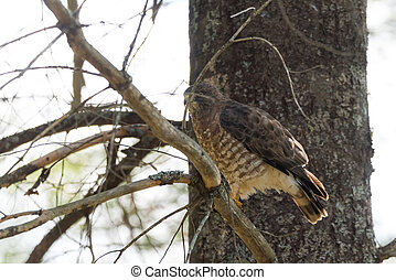 Red-Tail hawk on a tree branch, fluffs up and ruffles his feathers.