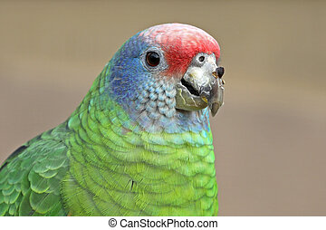 Red tailed amazon