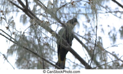 A steady shot of a black cockatoo with a red tail. The bird is chilling on the branch.