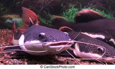 red-tailed catfish swimming in an aquarium