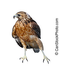 Red Tailed Hawk - A Red-tailed hawk (Buteo jamaicensis) bird...