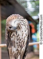 Red-tailed hawk are medium-sized hawks is a bird of prey ...