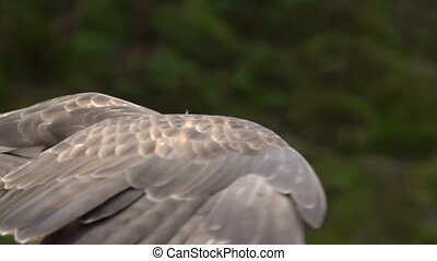 Red-tailed hawk. Bird of prey. Slow motion shot.