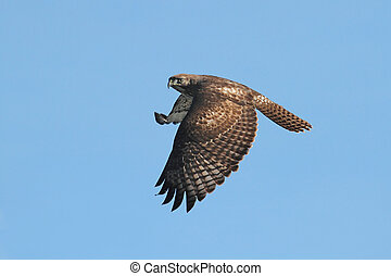 Red-tailed Hawk (buteo jamaicensis) flying against a blue ...