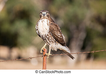 Red-tailed Hawk - Buteo jamaicensis, Juvenile - Red-tailed ...