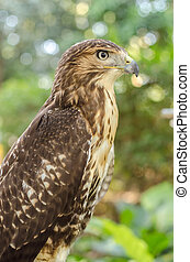 Red-tailed hawk (Buteo jamaicensis) Portrait sitting on a stick