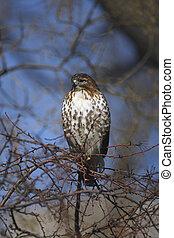 Red tailed hawk, Buteo jamaicensis, single bird on tree, New...