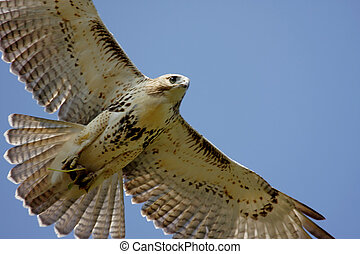 Red-tailed Hawk (buteo jamaicensis) soaring in a blue sky