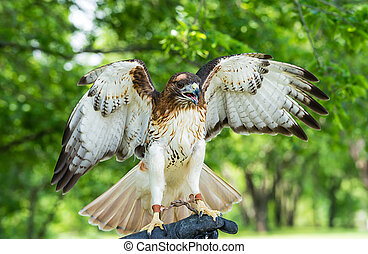 Red-tailed Hawk (Buteo jamaicensis) wings open, against ...