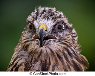 Red tailed hawk - Close-up portrait of red tailed hawk