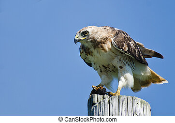 Red-Tailed Hawk Eating a Turtle