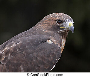 Red-tailed Hawk Face