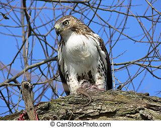 Red-tailed Hawk Feeding On Marsh Rat