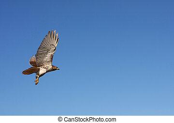 Red-tailed Hawk In Flight In Morning Sun