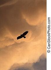 Red-tailed Hawk in flight in Saskatchewan