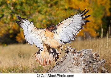 Red-tailed hawk in flight - Red-tailed hawk (Buteo...