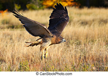 Red-tailed hawk in flight - Red-tailed hawk (Buteo ...