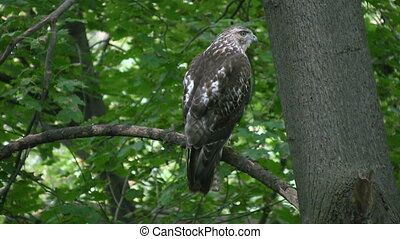 A red-tailed hawk keeps on eye on the forest floor below. Toronto, Ontario, Canada.