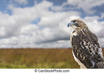 Red-tailed Hawk looking over a field of tall grass. The most...