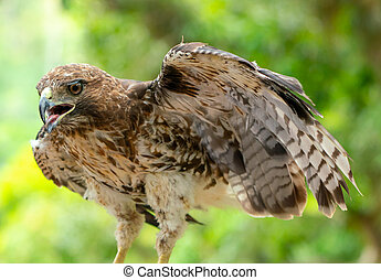red-tailed hawk or Buteo jamaicensis close-up portrait. ...