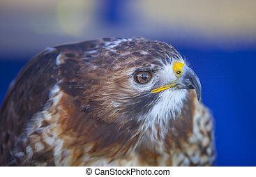 Red-tailed hawk or Buteo jamaicensis. CLoseup