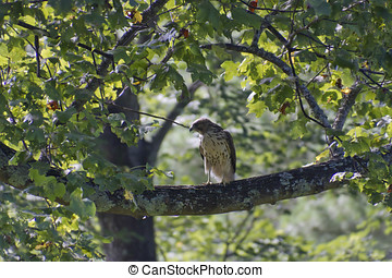 Red Tailed Hawk Perched on a High Branch - A beautiful red...