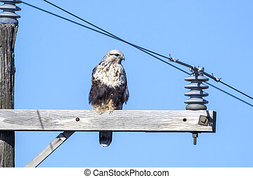 Red tailed hawk perched on pole.