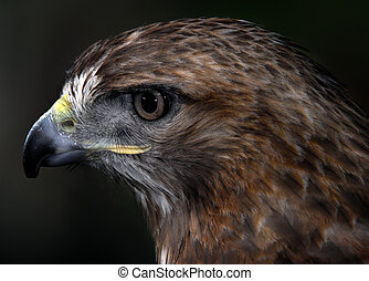 Red-tailed hawk - Close up portrait of a wild red tailed...