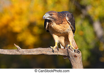 Red-tailed hawk sitting on a stick
