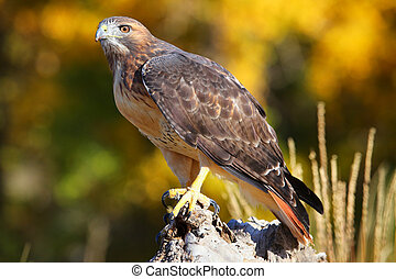 Red-tailed hawk sitting on a stump - Red-tailed hawk (Buteo...