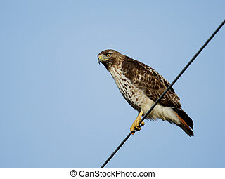 Red-tailed hawk sitting on a wire.