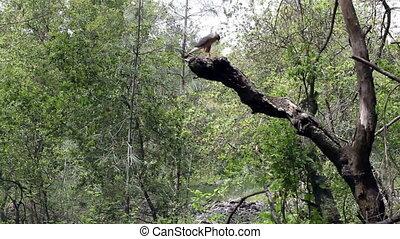 Hawk Sitting On Branch Of Dead Tree