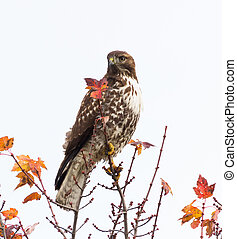 Red Tailed Hawk standing on tree