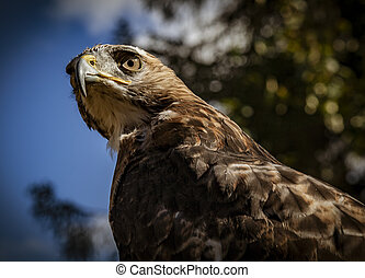 Red Tailed Hawk Staring at the Kroschel Films Wildlife ...
