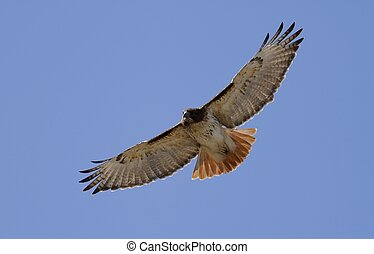 Red Tailed Hawk - In flight over the sky in Missouri.