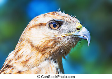 Red-tailed Hawk - Close portrait of Red-tailed Hawk (Buteo...
