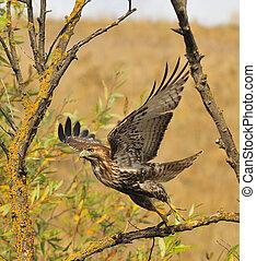 Red Tailed Hawk taken 11/02/2008 San Ramon CA