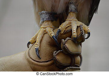 Red tailed hawk talons