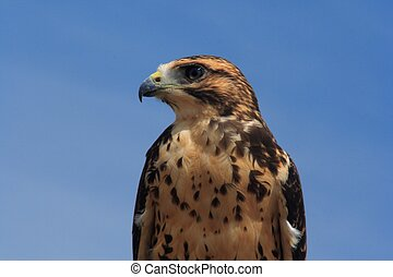 Red-Tailed Hawk - This prairie raptor wasn't the least bit ...