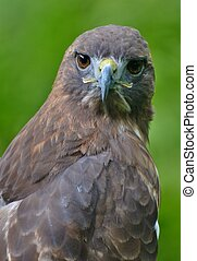 Red-tailed Hawk with Green Background