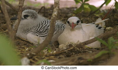 Red-Tailed Seabird With Chick, Lady Elliot Island