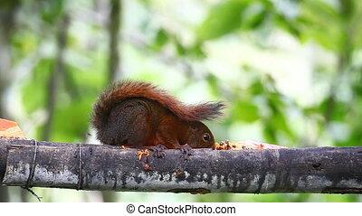 Red-tailed Squirrel, Sciurus granatensis, at a feeder in Ecuador