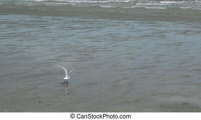 Red-Tailed Tropicbird Hunting, Lady Elliot Island - Medium...