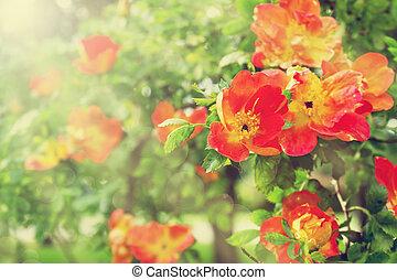 Red tea roses