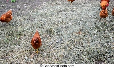 Red thoroughbred chickens pecking dry grass - red...