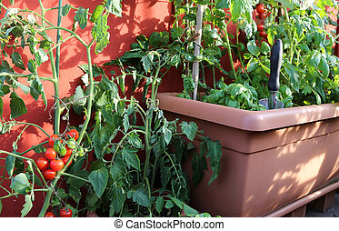 red tomato plant and green plants on the pot in the balcony...